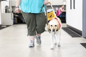 person and guide dog walk toward camera. dog is yellow lab in pink bandana