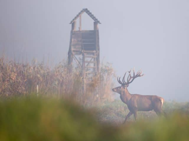 Red deer with antlers walking in reed field. Watchtower in background. Wildlife in natural habitat