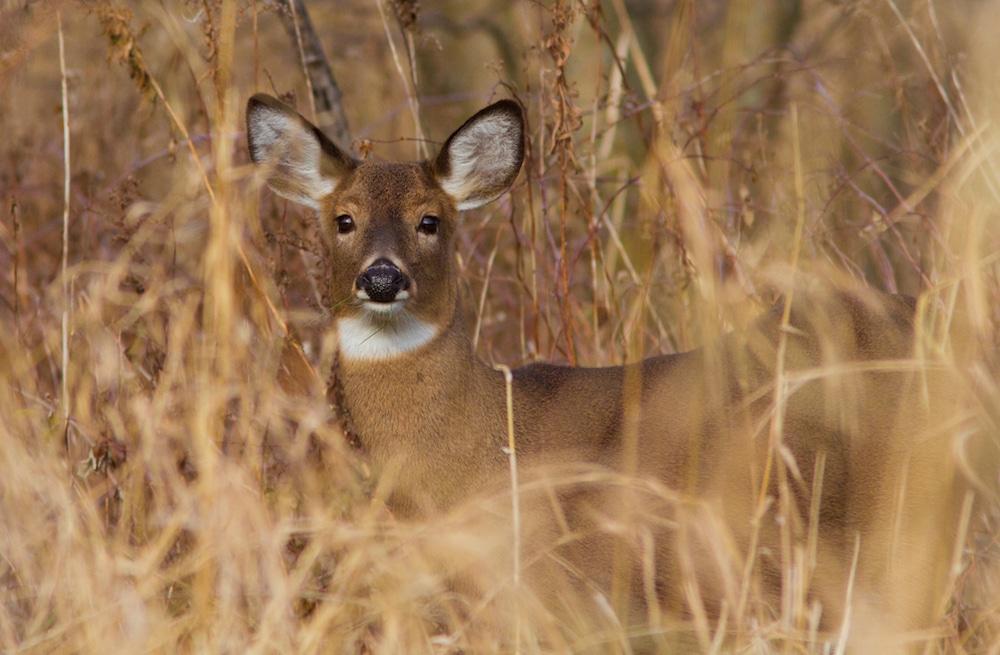 Whitetail deer (Odocoileus virginianus) in autumn
