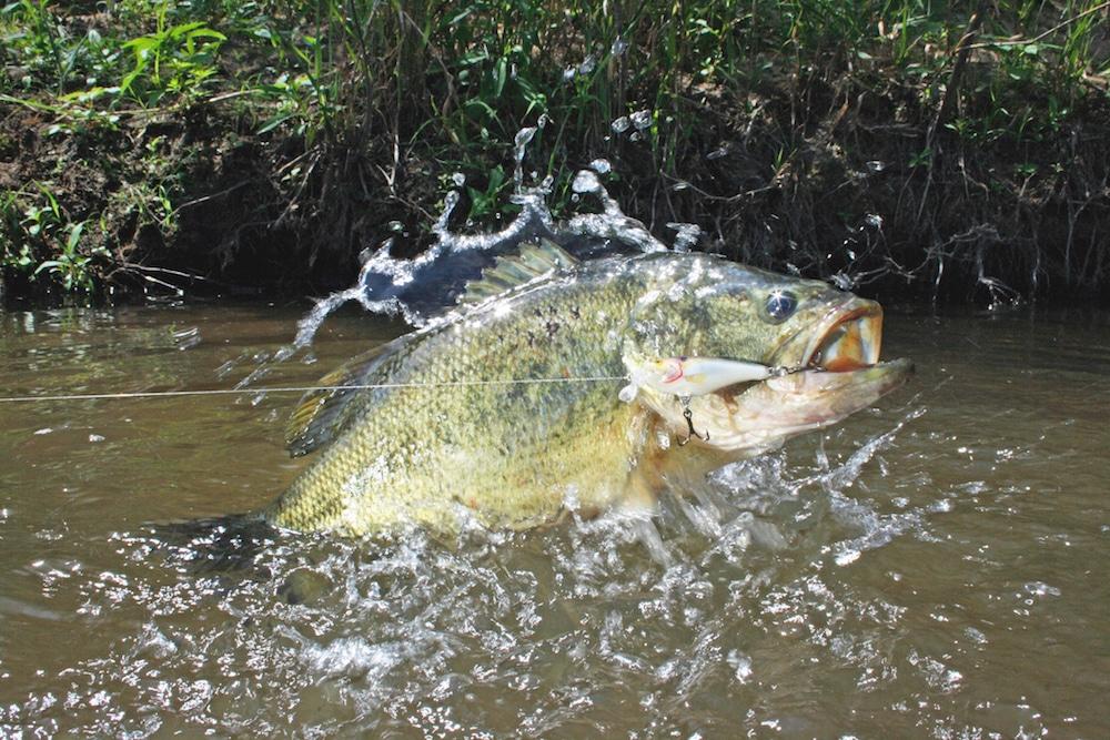 A bass caught on a line