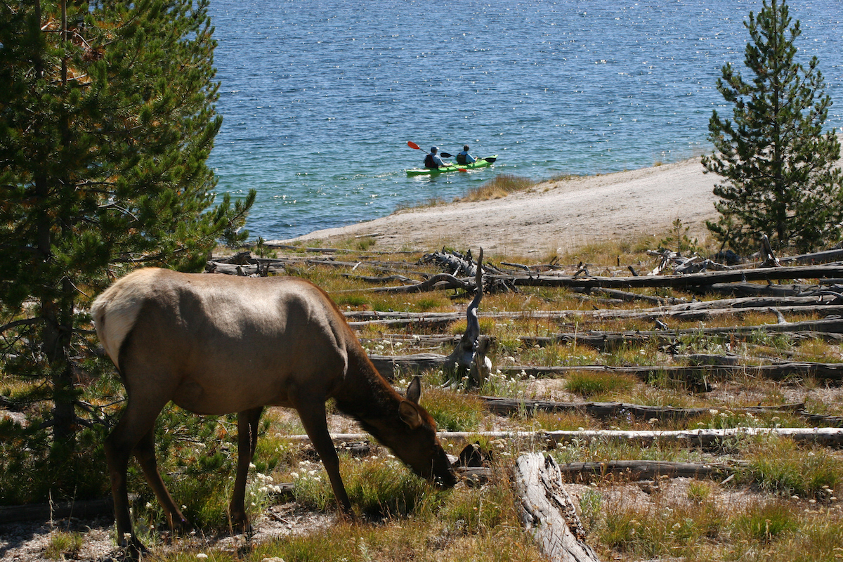 elk eating by yellowstone lake