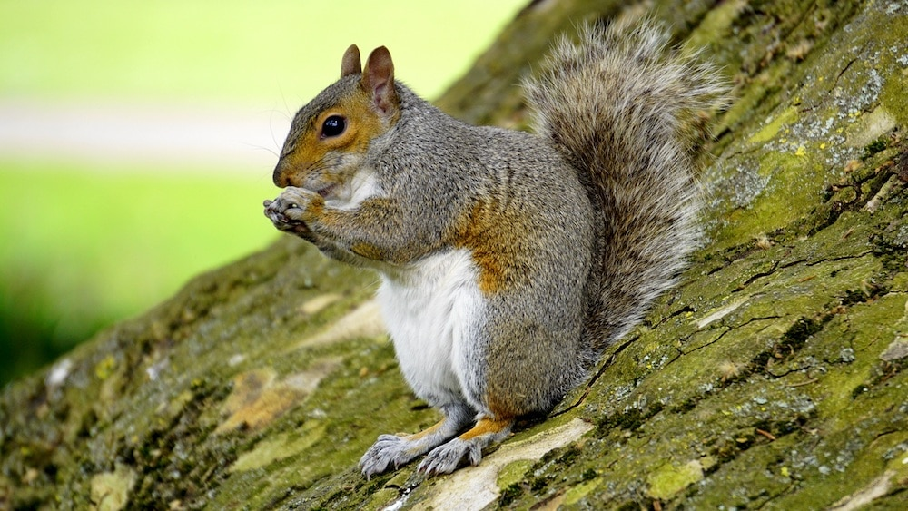 A squirrel on sitting on a tree.