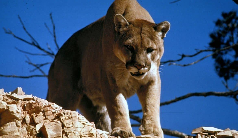 Google de claws cougar