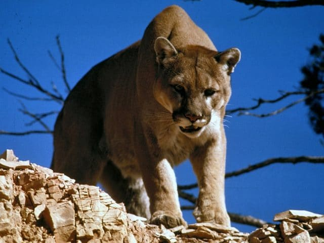 What To Do If You See A Cougar