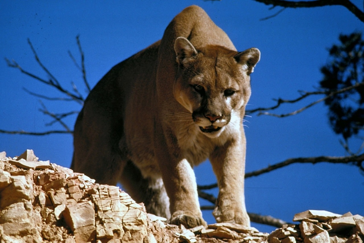 What To Do If You See A Cougar - Gander RV & Outdoors