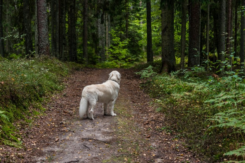 Golden Retriever Looking Ahead down a Path in a Forest
