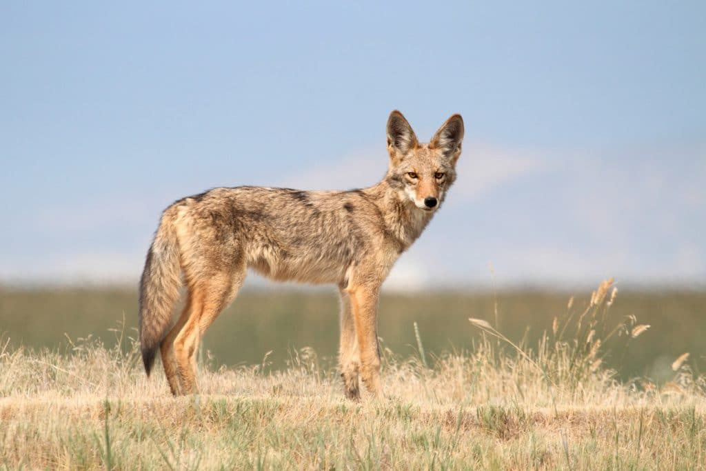 Western Coyote (Canis latrans) in northern California (Western Coyote