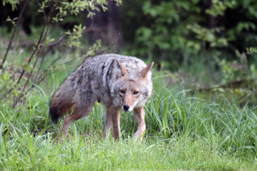 Coyote in Michigan in spring