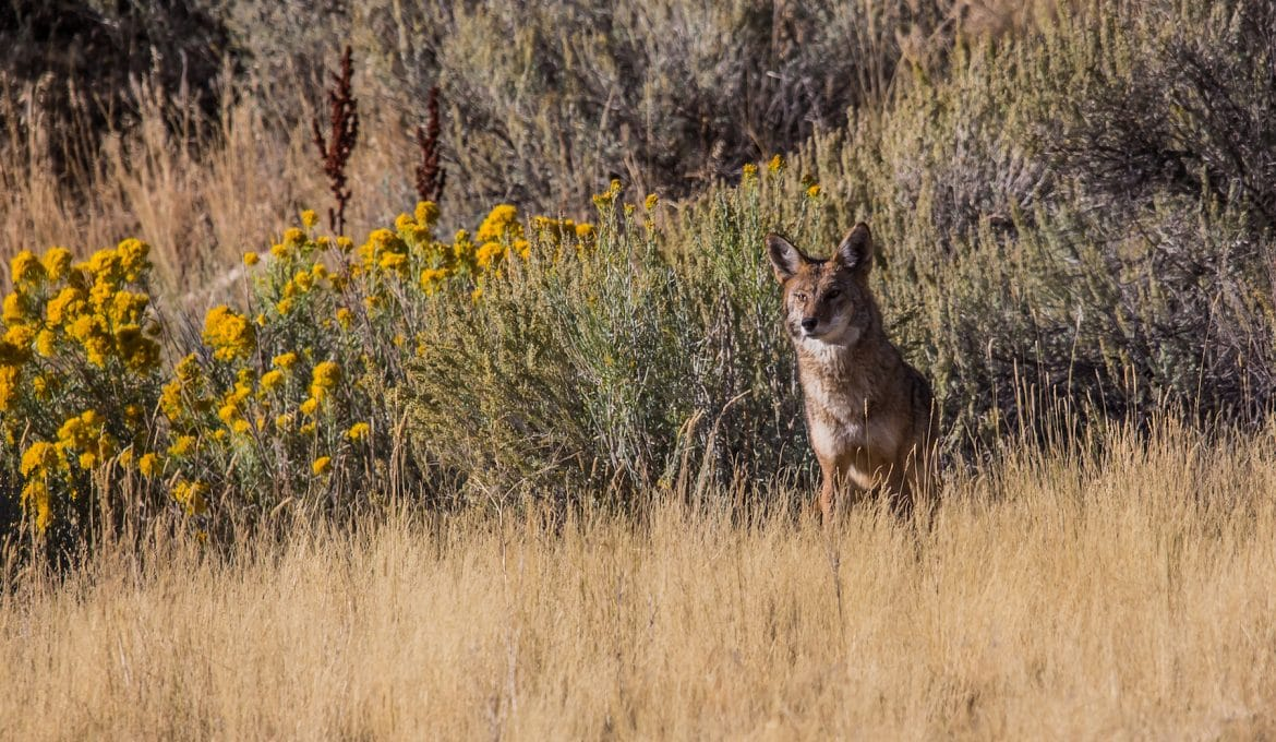 wester coyote in sunset meadow