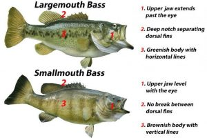 difference between smallmouth and largemouth bass