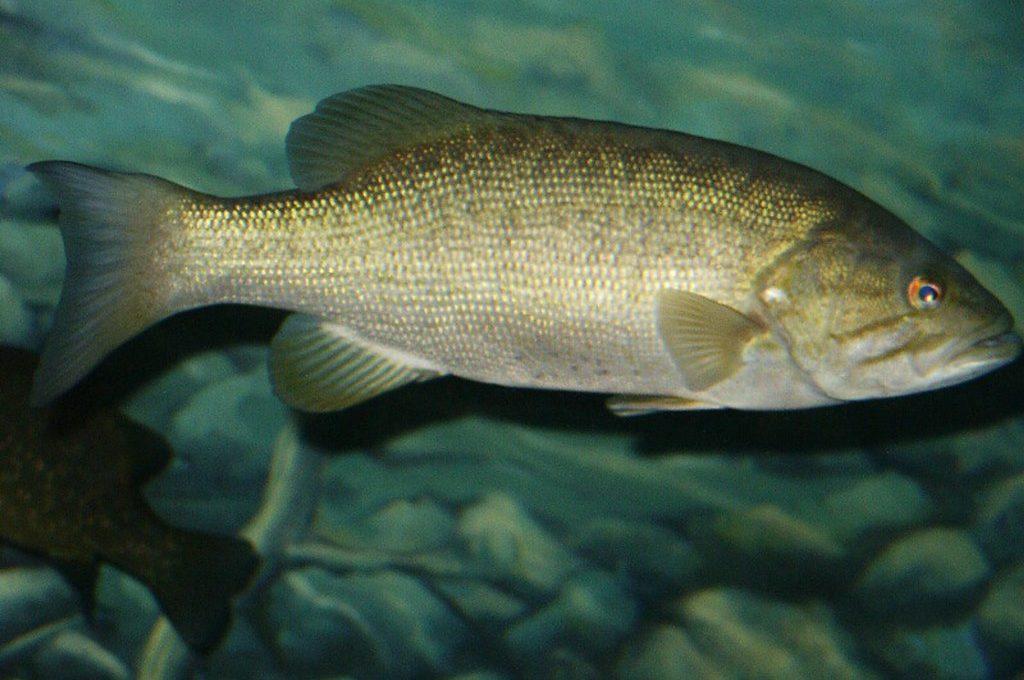Smallmouth Bass Fishing Catch More Smallies