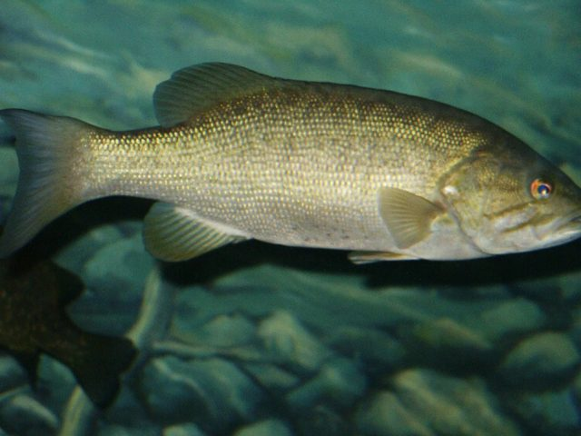 Smallmouth Bass Fishing: Catch More Smallies