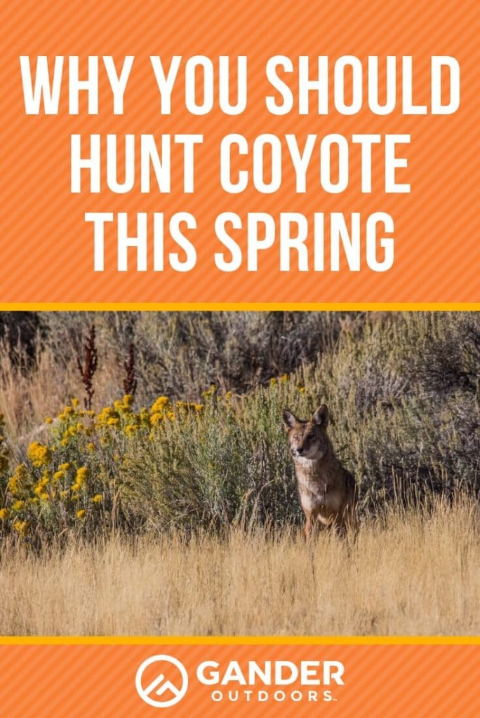 Why you should hunt coyote this spring