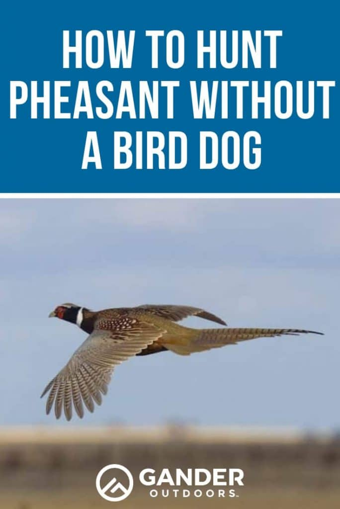 How to pheasant hunt without a dog