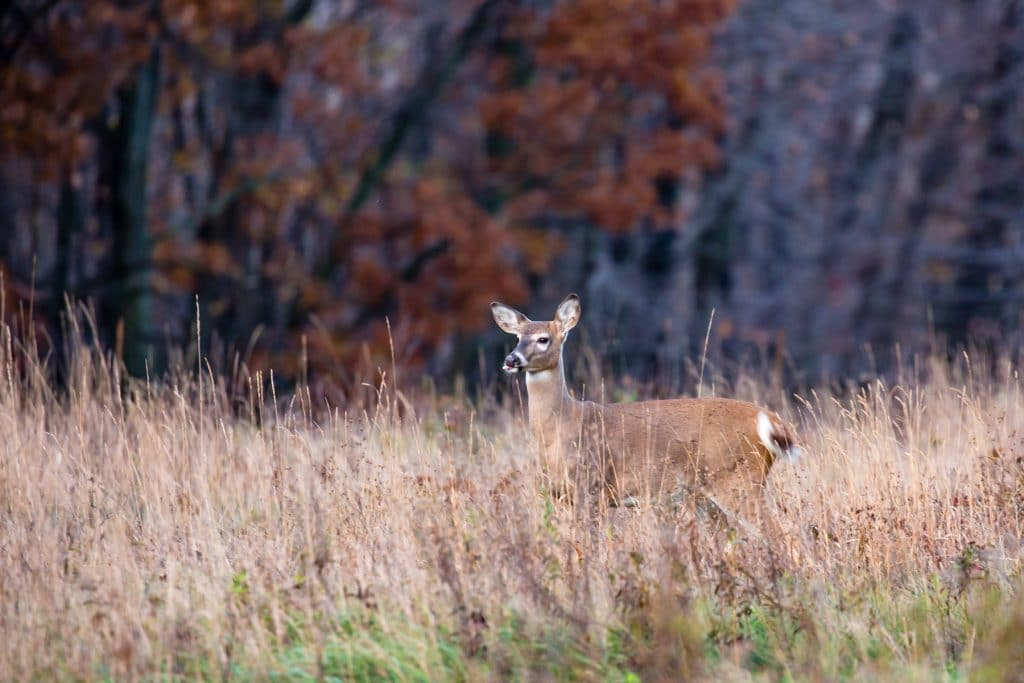 White-tailed deer (odocoileus virginianus) with tounge sticking out. (White-tailed deer