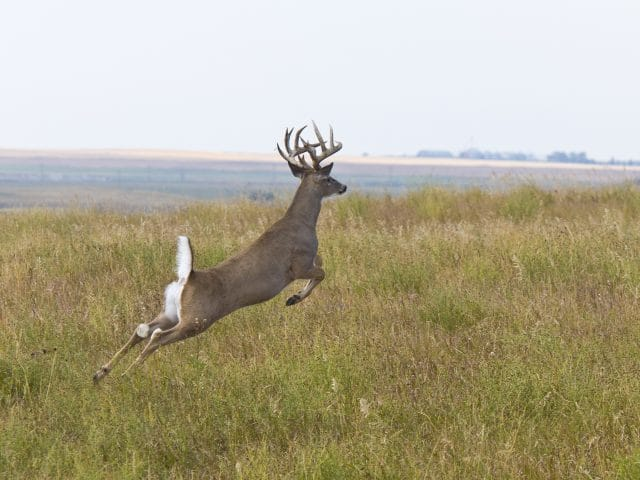 Large whitetail deer jumping in a field