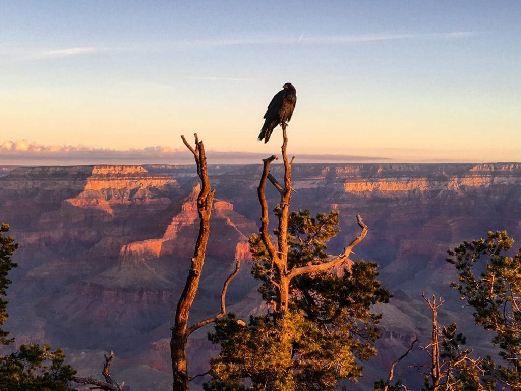 Black bird in tree at grand canyon