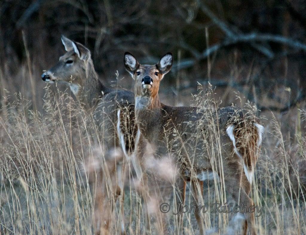 Deer Sniffing Air