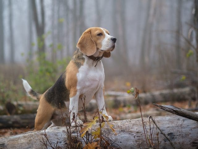portrait of a Beagle dog on the background of thick fog during a walk in the autumn Park