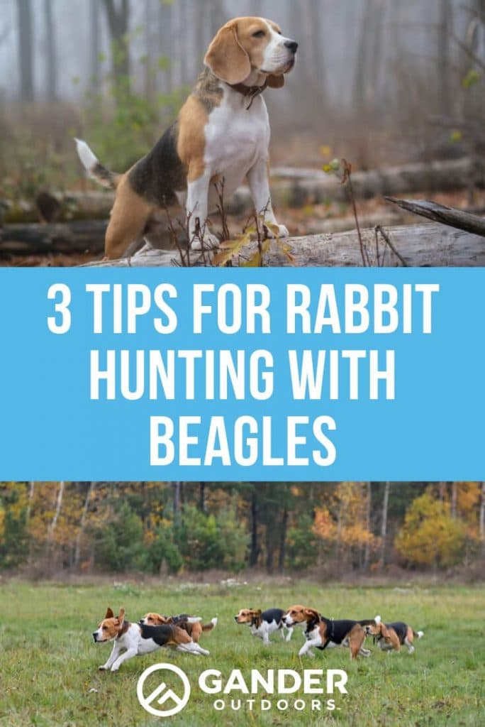 3 Tips for rabbit hunting with beagles