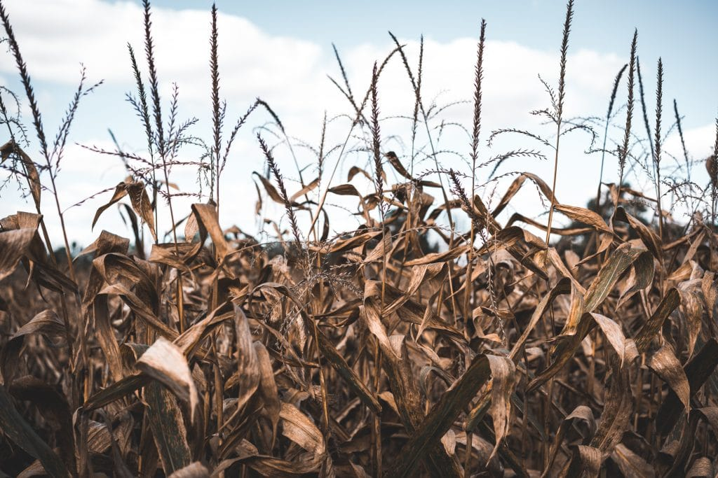 Late season corn field