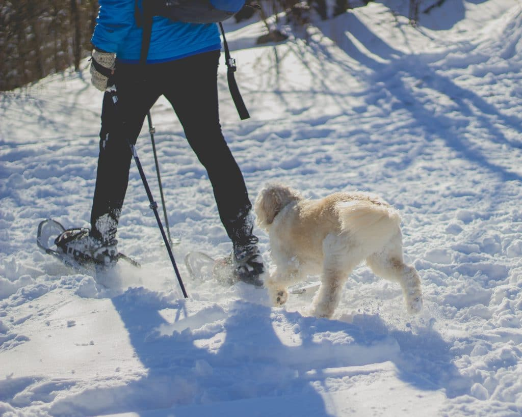 person in blue jacket snowshoeing with white dog