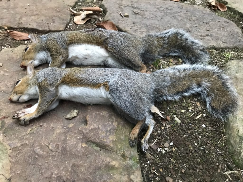 Two freshly killed squirrels hunted in the woods