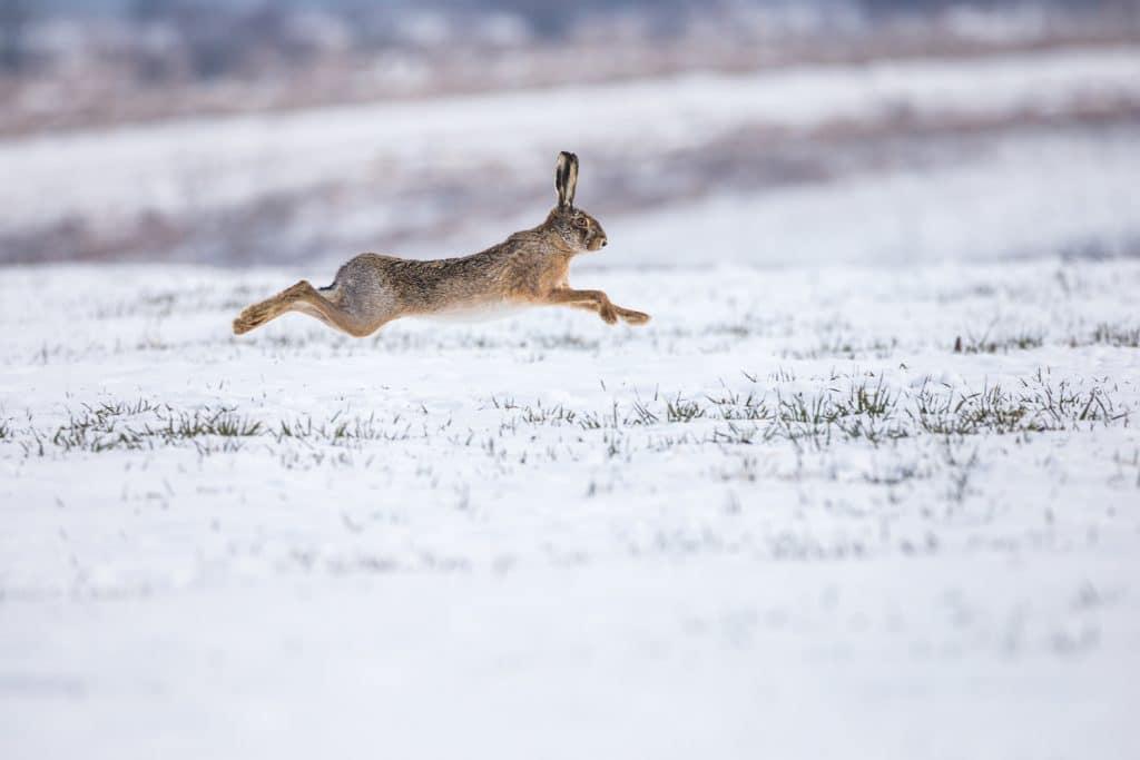 Lepus Europaeus, hare, rabbit