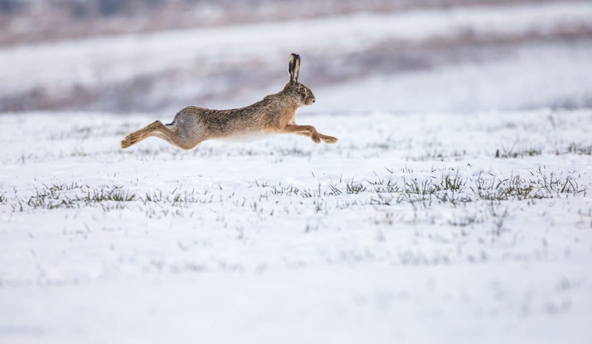 Tips for Hunting Rabbit in the Winter
