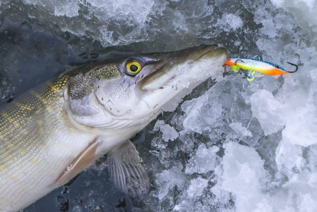 Winter fishing concept. Pike fish on ice hole on snow.