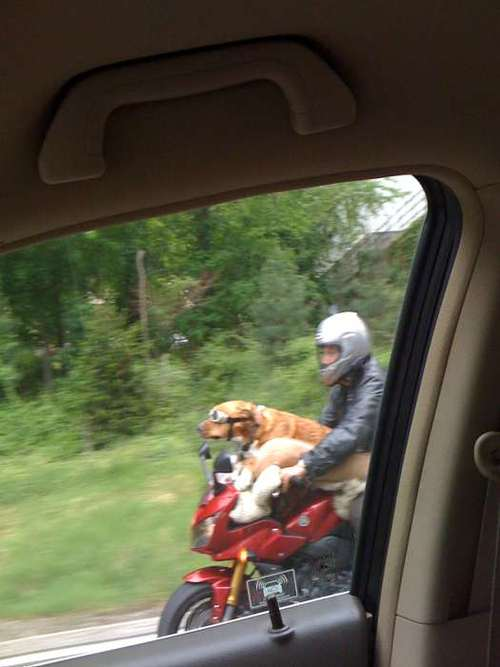 dog-motorcycle