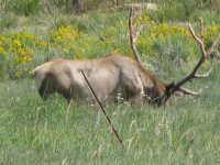 elk in Wyoming 025.JPG