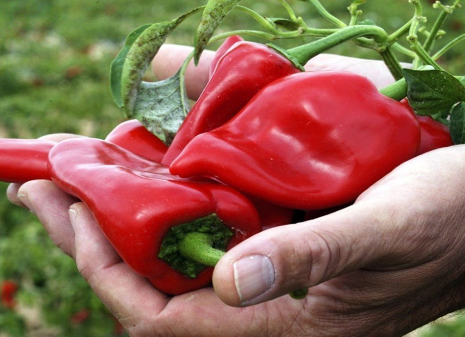 Piquillo Peppers in hand