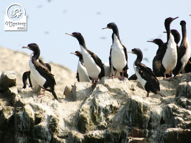 Full Day Tour to The Ballestas Islands and The Paracas Reserve