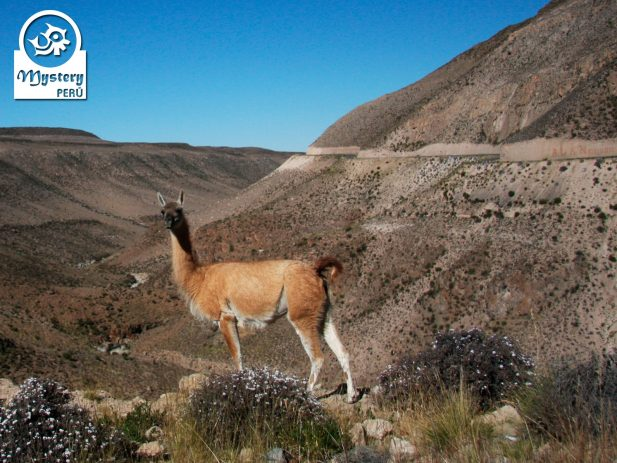 Tour to the Pampas Galeras Reserve in Nazca.