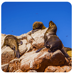 Sea Lions resting on Ballestas Islands
