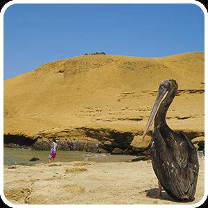 Pelikan at Lagunillas Paracas