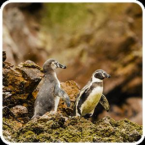 Pinguinos de Humboldt en las Playas de Ballestas