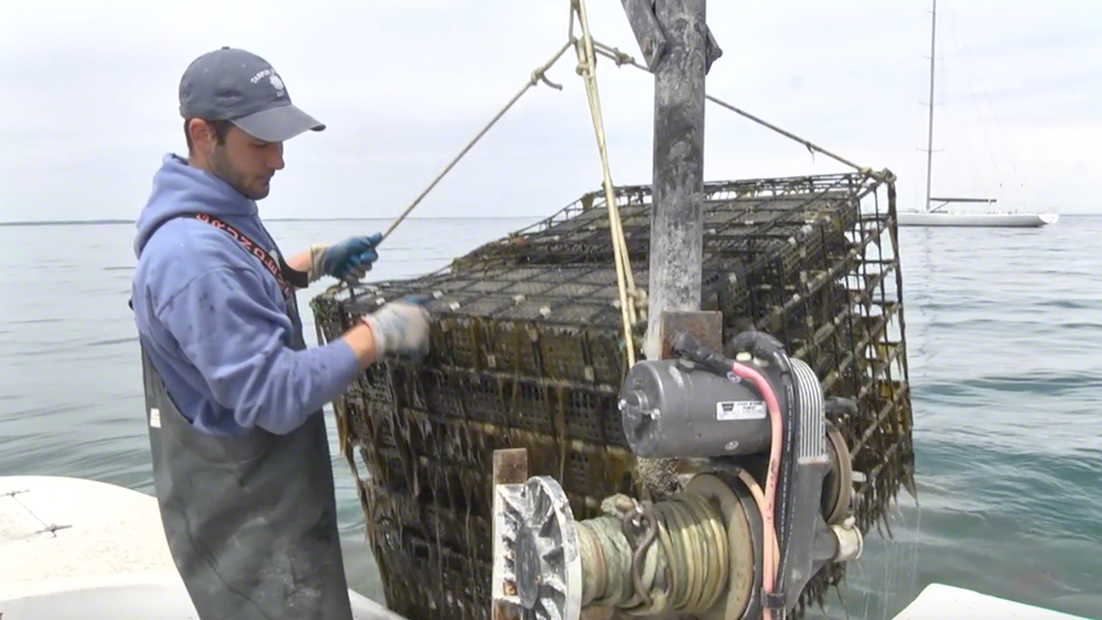 Martha's Vineyard Oyster Farm Tour: Cottage City Oyster Oak Bluffs Seafood