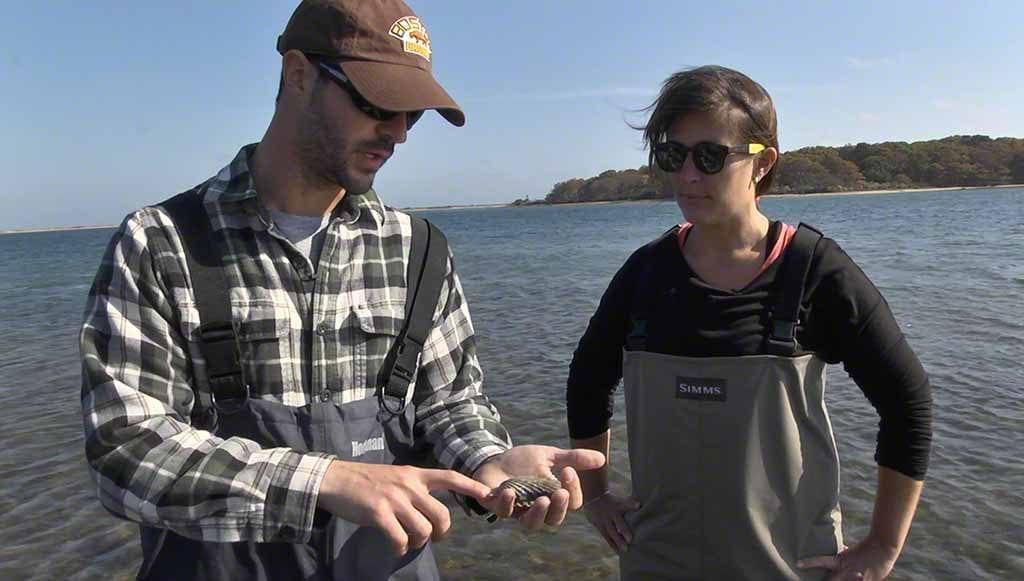 Harvesting Fresh Bay Scallops By Hand On Martha's Vineyard