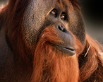 Azy__orangutan__at_the_Indianapolis_Zoo.jpg