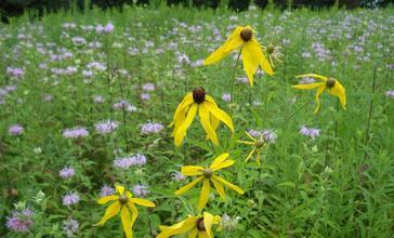 Prairie_grasses_and_flowers_in_Antigo__Wisconsin.jpg