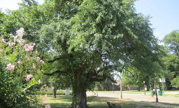 Bodock_Tree__Rayville__LA_IMG_0162.JPG