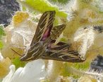 Sphinx_moth_on_rock_nettle_at_Mosaic_Canyon.jpg