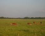 Cattle_near_Beeville__TX_IMG_0987.JPG