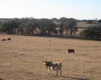 Cattle_across_from_Connally_Medical_Center_IMG_2709.JPG