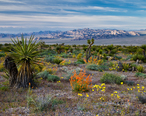 Spring_Flowers_in_Red_Rock_Canyon_National_Conservation_Area.jpg