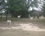 Goats_IMG_0774.JPG