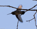 Magnificent_Hummingbird__male__Huachuca_Canyon_Sierra_Vista_AZ-4__35488225900_.jpg