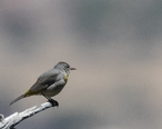Virginia_s_Warbler_Carr_Canyon_Sierra_Vista_AZ_2018-05-24_12-50-53__33981503228_.jpg